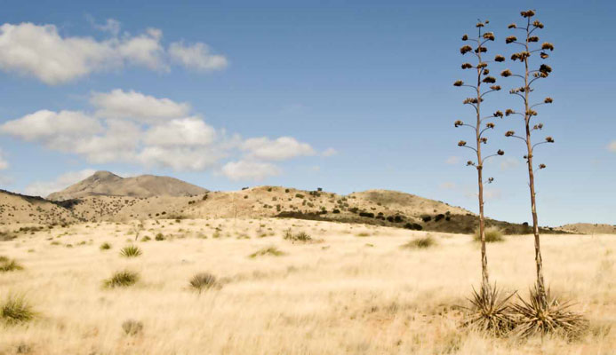 two-agave
